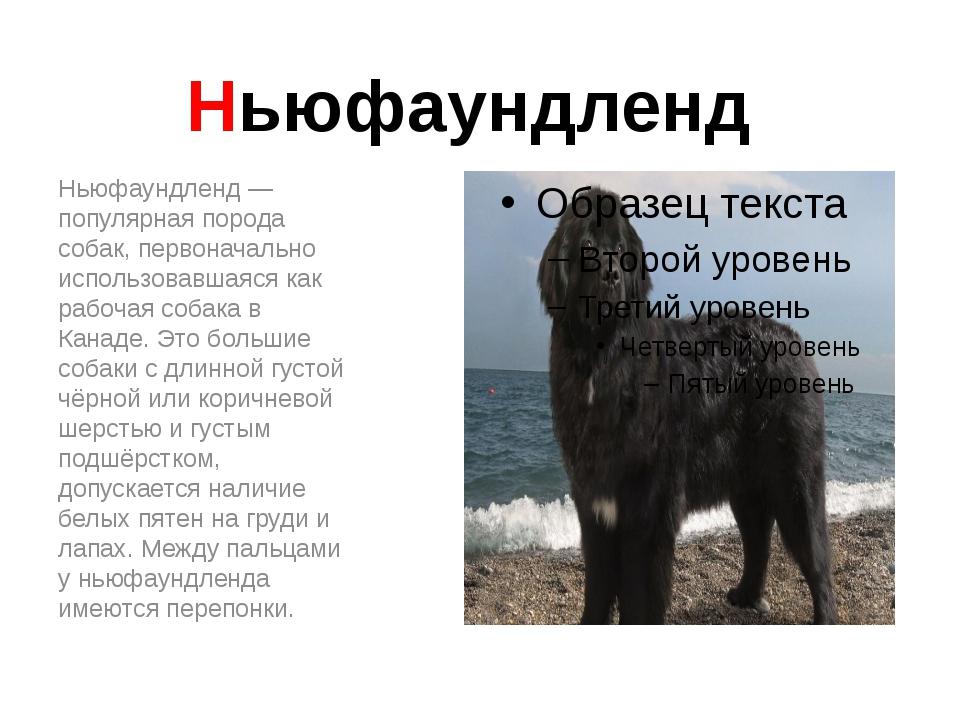 Ньюфаундленд Ньюфаундленд — популярная порода собак, первоначально использова...