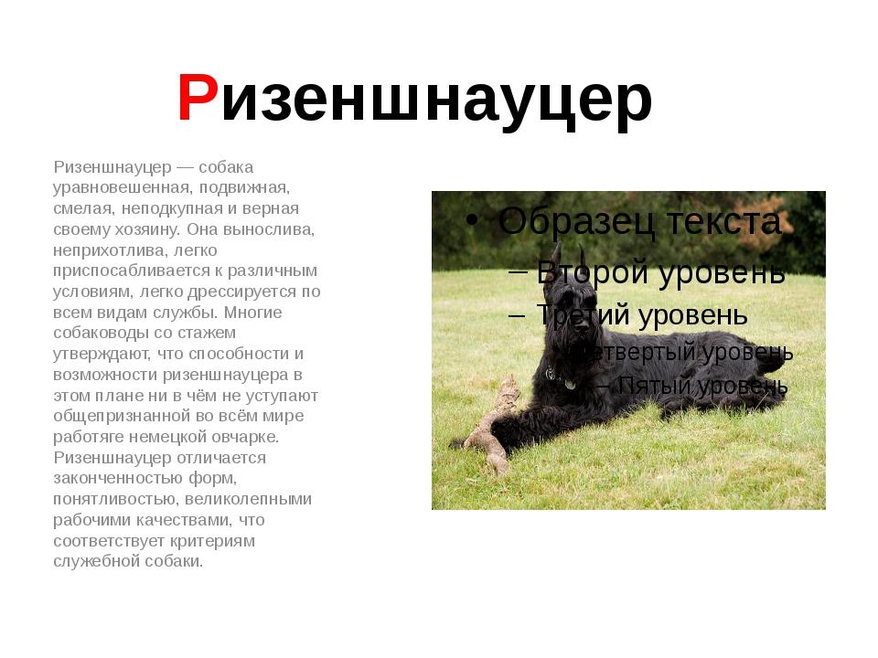 Ризеншнауцер Ризеншнауцер — собака уравновешенная, подвижная, смелая, неподку...