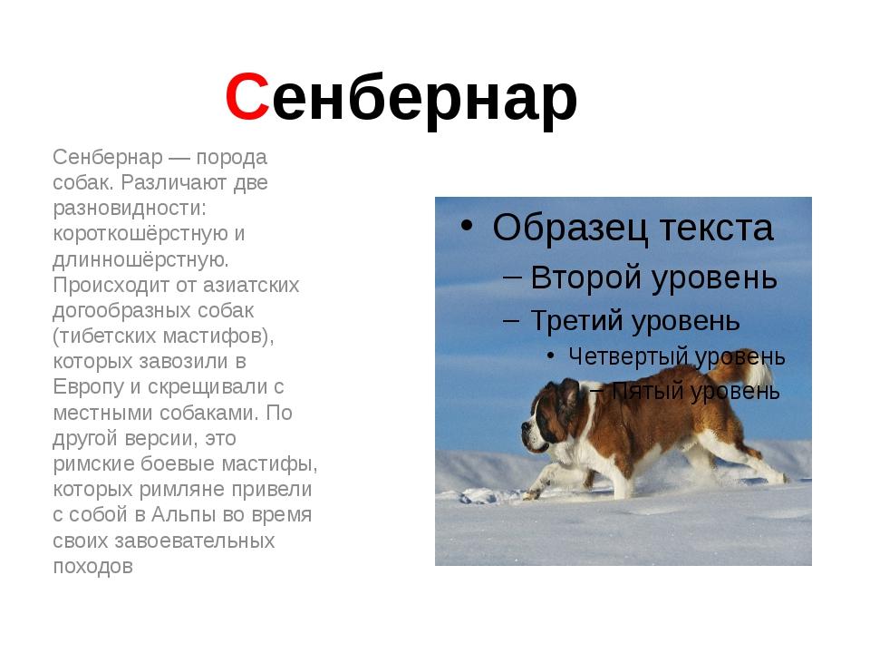 Сенбернар Сенбернар — порода собак. Различают две разновидности: короткошёрст...