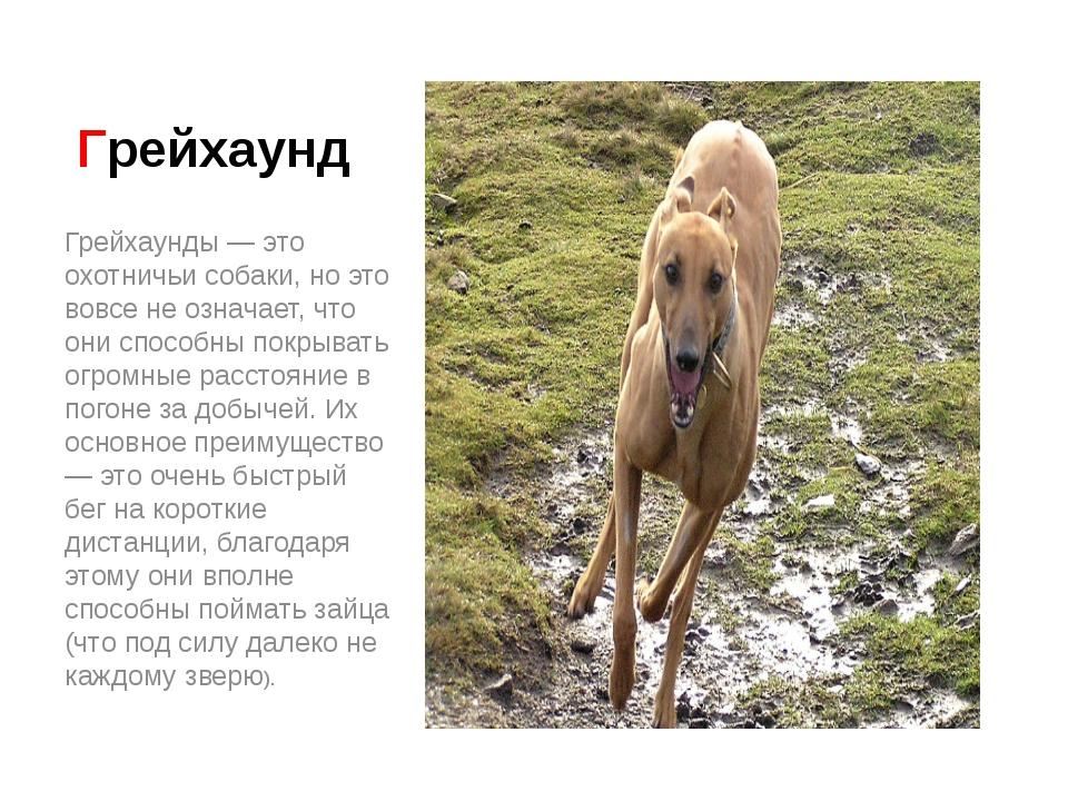 Грейхаунд Грейхаунды — это охотничьи собаки, но это вовсе не означает, что он...