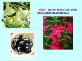 Табак – однолетнее растение семейства пасленовых