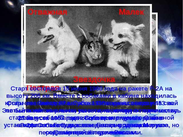 25 августа 1957 года состоялся старт на ракете Р-2А. Собака Белка находилась...