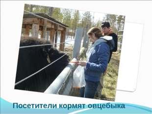 Посетители кормят овцебыка