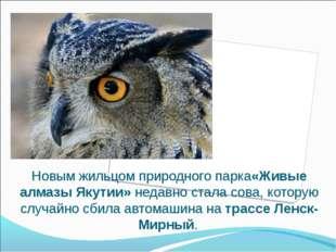 Новым жильцом природного парка«Живые алмазы Якутии»недавно стала сова, котор