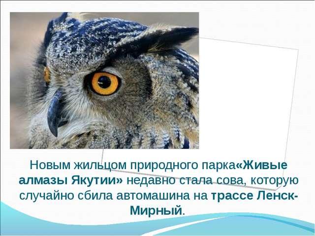 Новым жильцом природного парка«Живые алмазы Якутии»недавно стала сова, котор...
