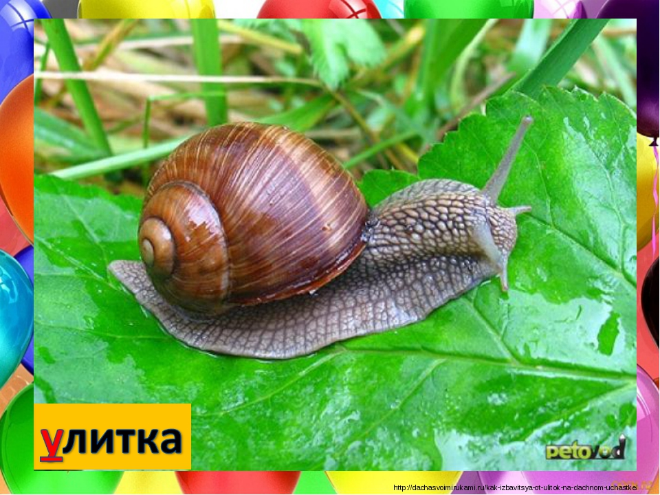 http://dachasvoimirukami.ru/kak-izbavitsya-ot-ulitok-na-dachnom-uchastke/