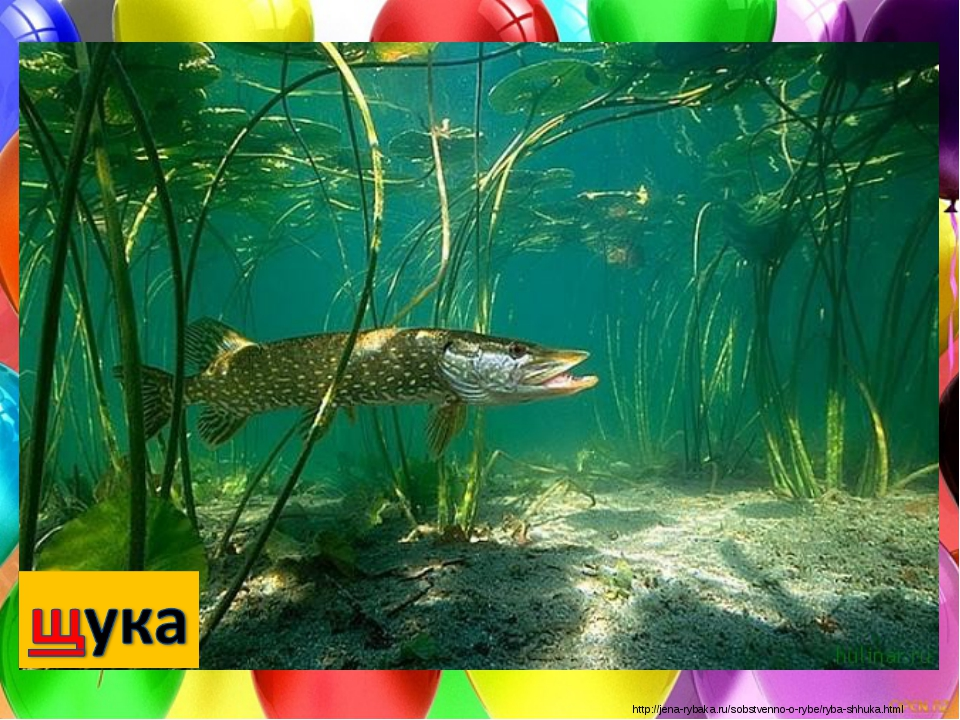 http://jena-rybaka.ru/sobstvenno-o-rybe/ryba-shhuka.html