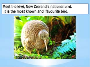 Meet the kiwi, New Zealand's national bird. It is the most known and favourit