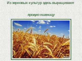 Из зерновых культур здесь выращивают яровую пшеницу