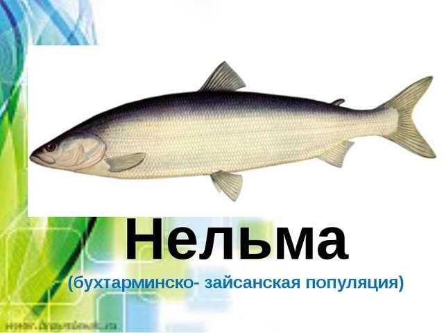 Нельма (бухтарминско- зайсанская популяция)