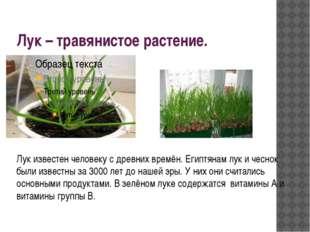 Лук – травянистое растение. Лук известен человеку с древних времён. Египтянам