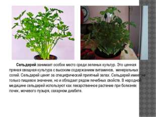 Сельдерей занимает особое место среди зеленых культур. Это ценная пряная ово