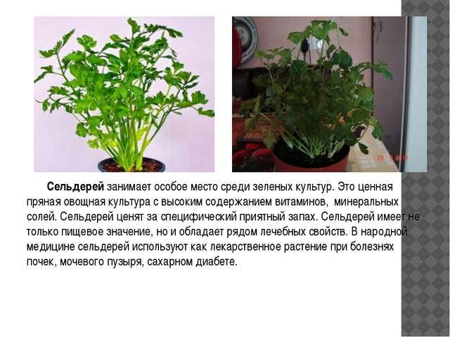Сельдерей занимает особое место среди зеленых культур. Это ценная пряная ово...