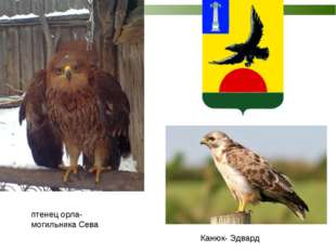 птенец орла-могильника Сева Канюк- Эдвард