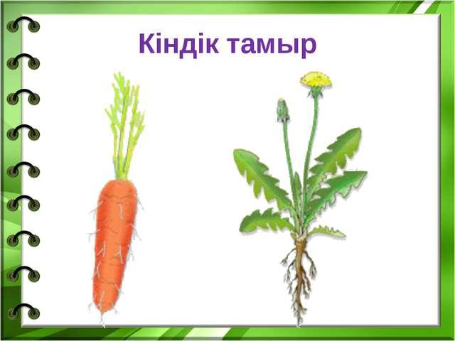 Кіндік тамыр