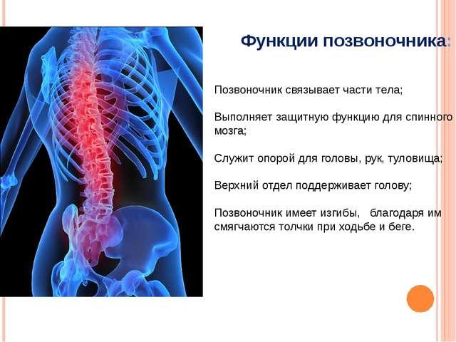 Позвоночник связывает части тела; Выполняет защитную функцию для спинного моз...