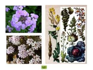 Цветки правильные или слегка развитые сильнее в одну сторону, чем в другую, т