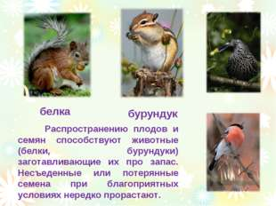 белка бурундук Распространению плодов и семян способствуют животные (белки, б