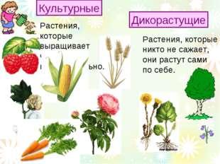 Растения, которые никто не сажает, они растут сами по себе. Культурные Дикора