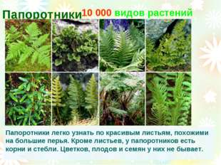 Папоротники 10 000 видов растений Папоротники легко узнать по красивым листья