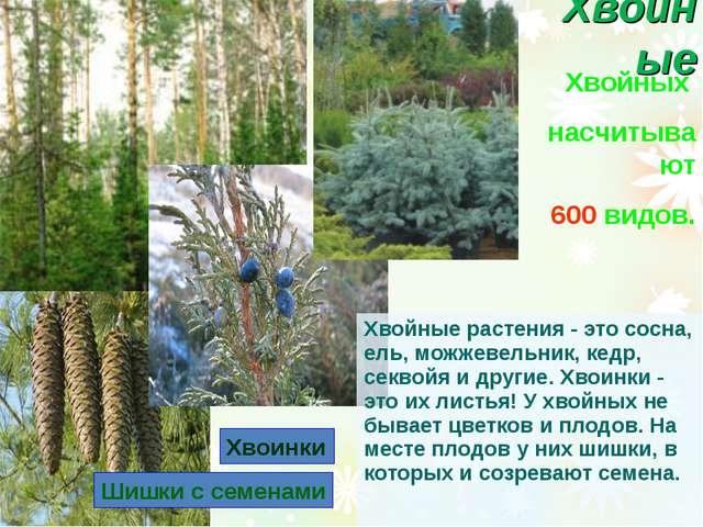 Хвойные Хвойных насчитывают 600 видов. Шишки с семенами Хвоинки Хвойные расте...