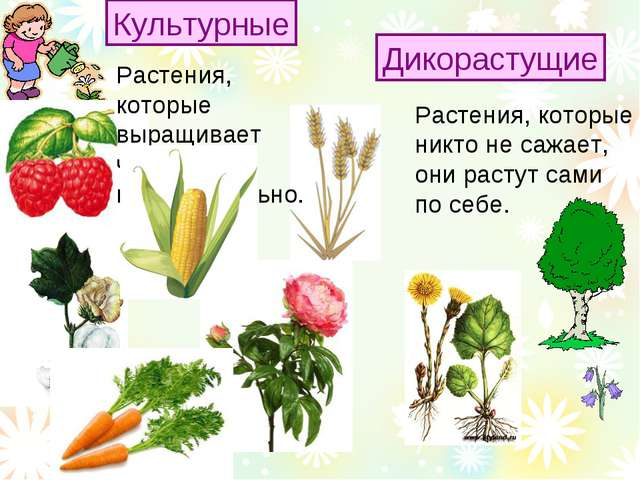 Растения, которые никто не сажает, они растут сами по себе. Культурные Дикора...