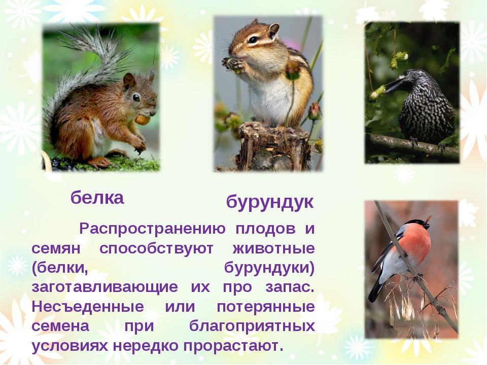 белка бурундук Распространению плодов и семян способствуют животные (белки, б...
