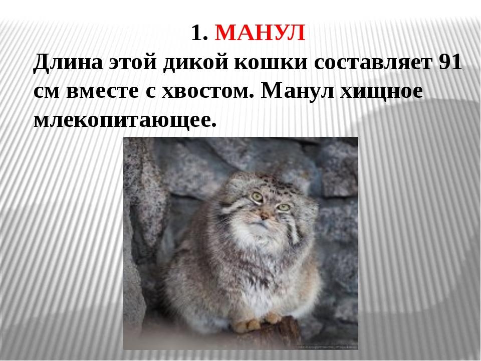 1. МАНУЛ Длина этой дикой кошки составляет 91 см вместе с хвостом. Манул хищн...