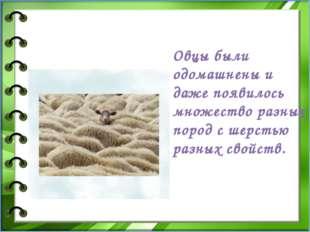 Овцы были одомашнены и даже появилось множество разных пород с шерстью раз