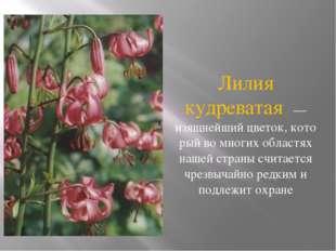 Лилия кудреватая — изящнейший цветок, кото рый во многих областях нашей стран