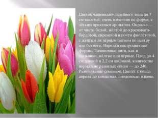 Цветок чашевидно-лилейного типа до 7 см высотой, очень изменчив по форме, с