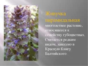 Живучка пирамидальная многолетнее растение, относящееся к семейству губоцвет