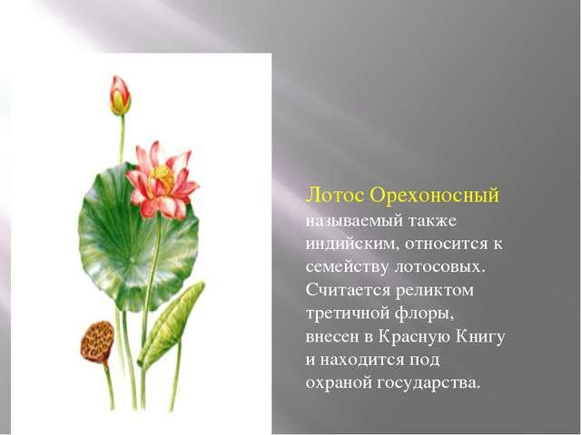 Лотос Орехоносный называемый также индийским, относится к семейству лотосовы...