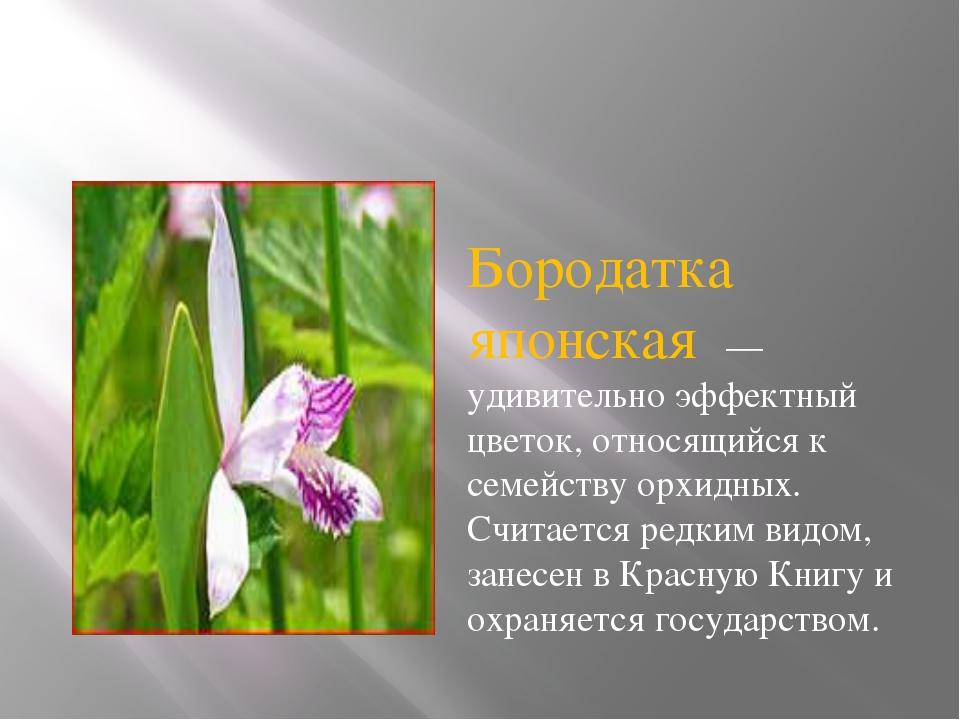 Бородатка японская — удивительно эффектный цветок, относящийся к семейству ор...