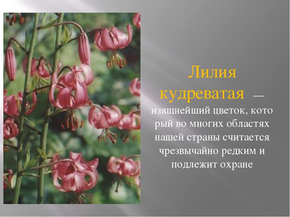 Лилия кудреватая — изящнейший цветок, кото рый во многих областях нашей стран...