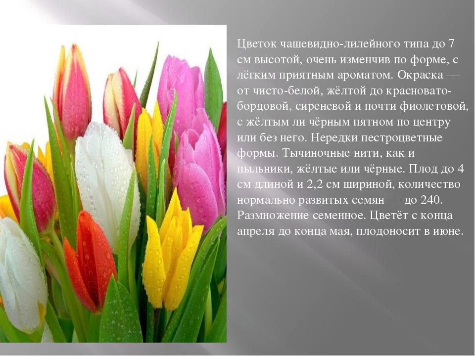 Цветок чашевидно-лилейного типа до 7 см высотой, очень изменчив по форме, с...