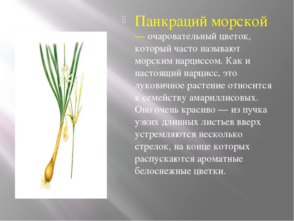 Панкраций морской — очаровательный цветок, который часто называют морским на...