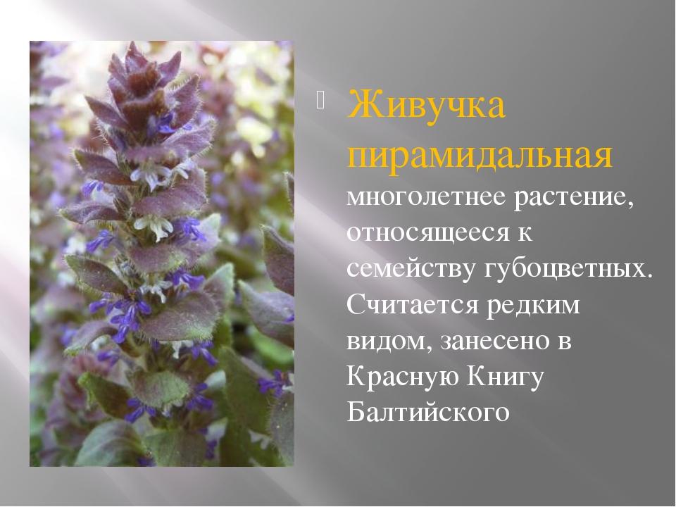 Живучка пирамидальная многолетнее растение, относящееся к семейству губоцвет...