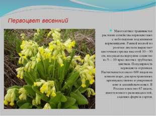 Первоцвет весенний Многолетнее травянистое растение семейства первоцветных с