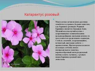 Катарантус розовый Многолетнее вечнозеленое растение семейства кутровых, боль