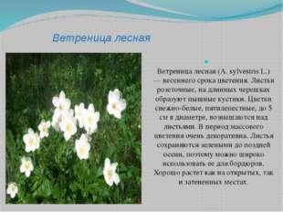 Ветреница лесная Ветреница лесная (A. sylvestris L.) — весеннего срока цветен