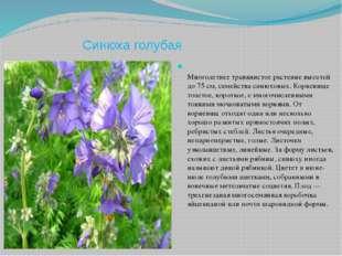 Синюха голубая Многолетнее травянистое растение высотой до 75 см, семейства с