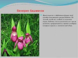 Венерин башмачок Яркая окраска и эффектная форма этой орхидеи напоминают крыл