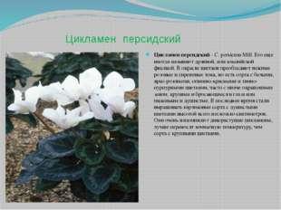 Цикламен персидский Цикламен персидский - С. persicum Mill. Его еще иногда на