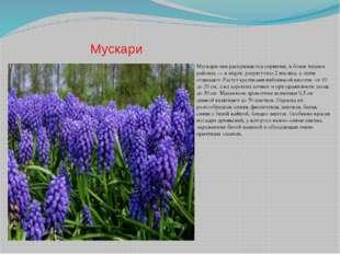 Мускари Мускари они раскрываются первыми, в более теплых районах — в марте, р