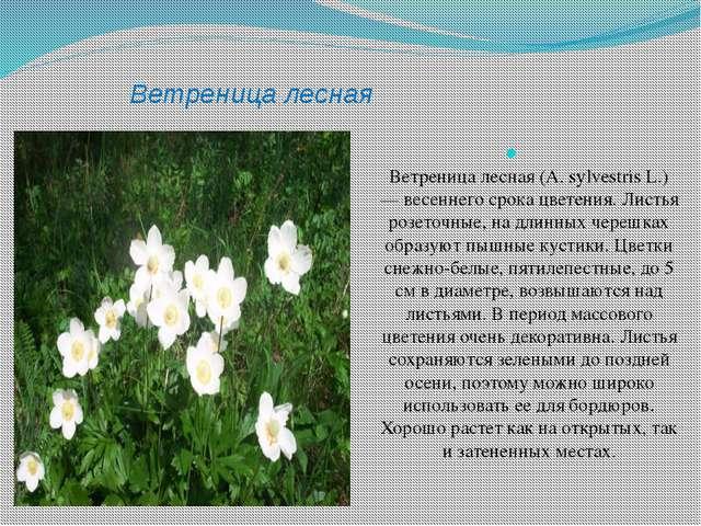 Ветреница лесная Ветреница лесная (A. sylvestris L.) — весеннего срока цветен...
