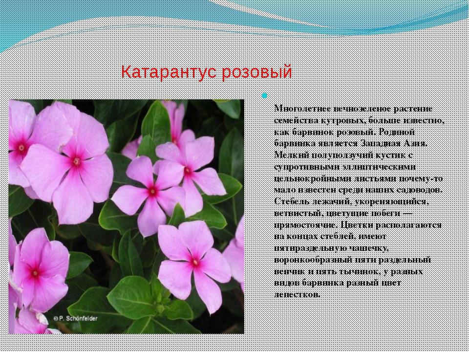 Катарантус розовый Многолетнее вечнозеленое растение семейства кутровых, боль...