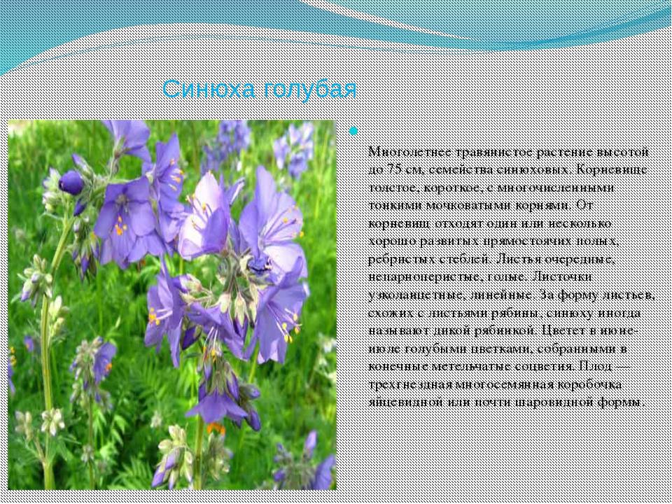 Синюха голубая Многолетнее травянистое растение высотой до 75 см, семейства с...