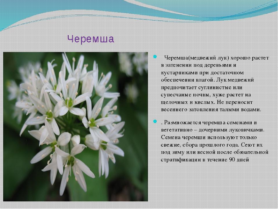 Черемша Черемша(медвежий лук) хорошо растет в затенении под деревьями и куста...