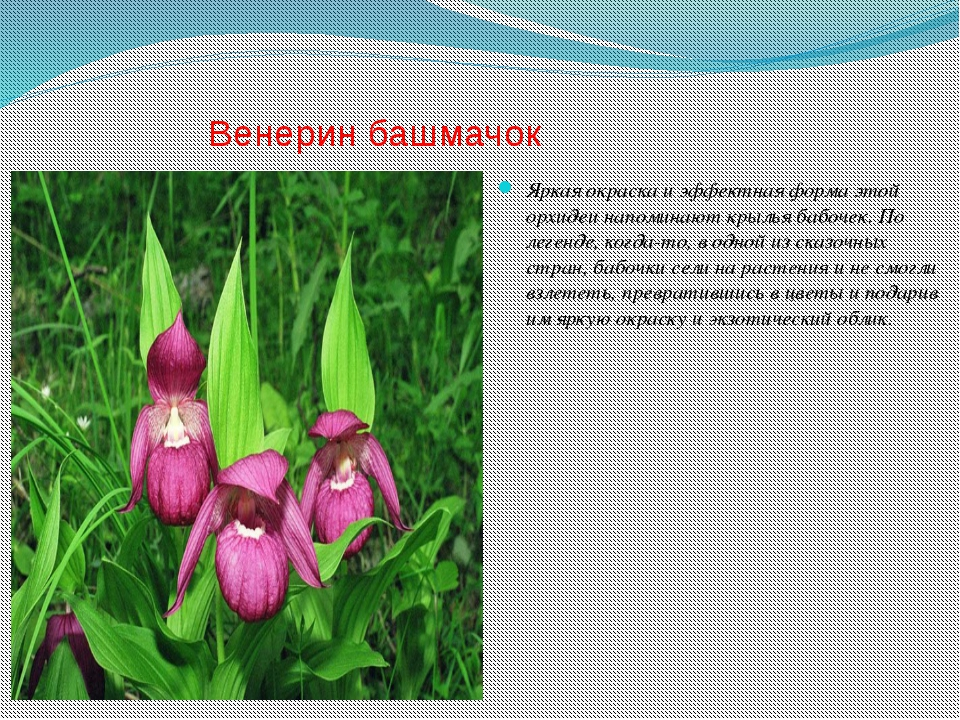 Венерин башмачок Яркая окраска и эффектная форма этой орхидеи напоминают крыл...